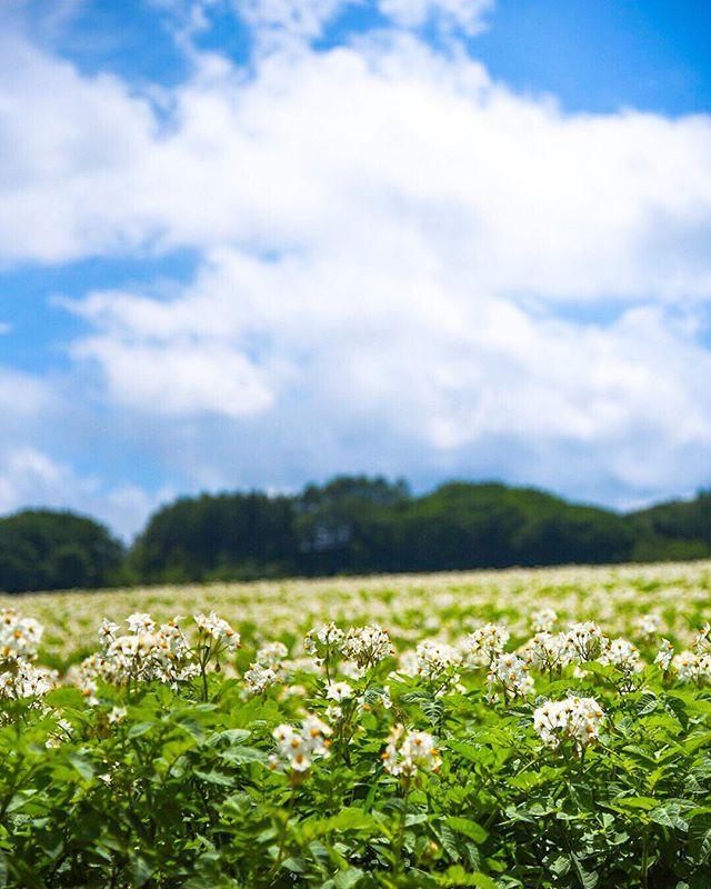 北海道網走郡美幌町 bihoro-cho,hokkaido,japan ジャガイモ畑 potato